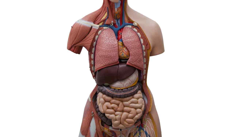 Científicos descubrieron un nuevo órgano en el cuerpo humano | Telemundo