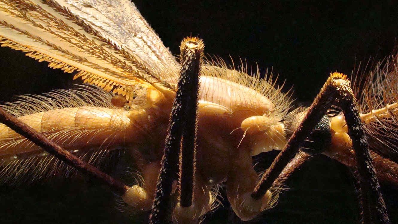 Descubren un mosquito enorme en una provincia de China