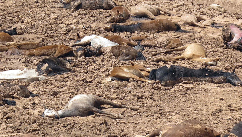 Imagen de caballos muertos en Cameron, Arizona por causa de la sequía
