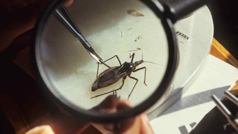 Insecto transmisor de la enfermedad de Chagas