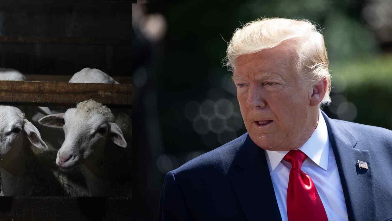 Fotografía combinada del presidente, Donald Trump, y cabras de una granja