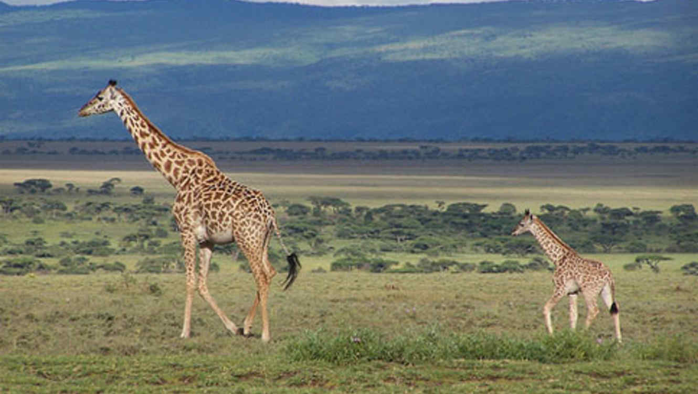 Jirafa hembra y su recién nacido.
