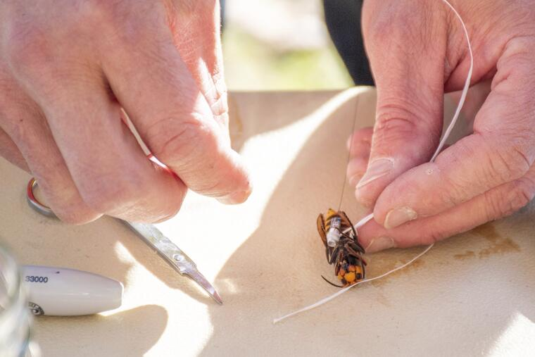 Científicos ponen un mecanismo de rastreo a un avispón.