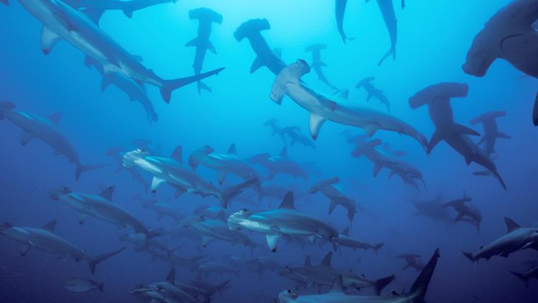 Tiburones zorro y martillo, en situación crítica