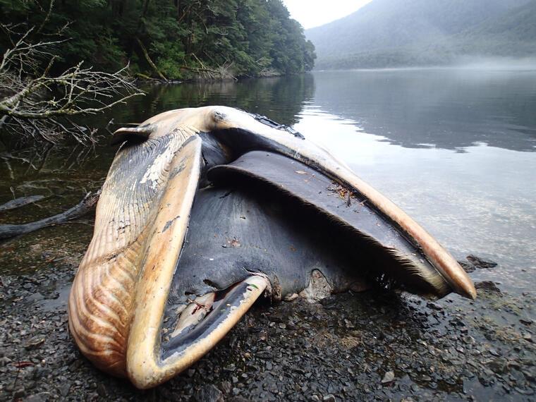 ballenas muertas en chile