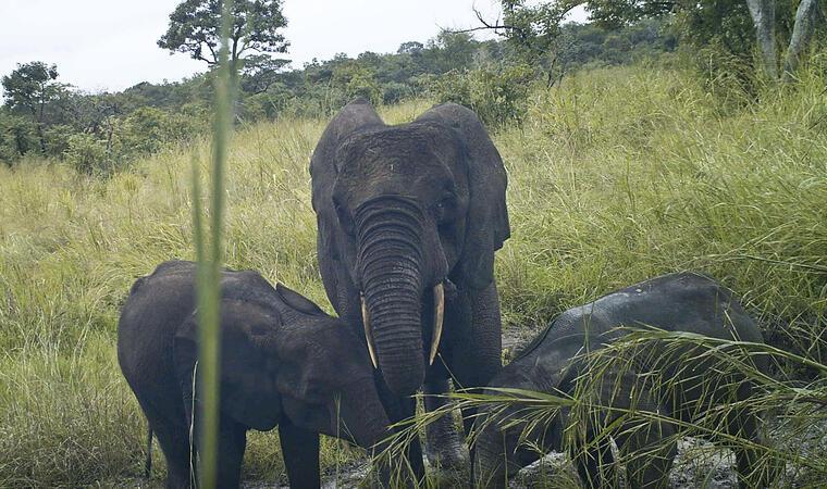 rara especie de elefante