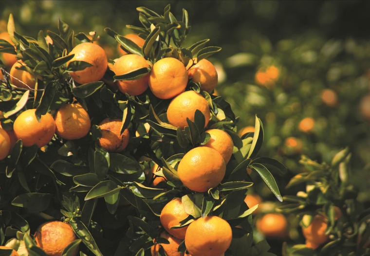 Naranjas en Florida