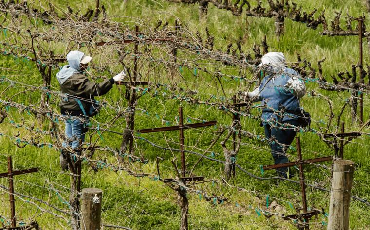 Dos trabajadores mantienen su distancia en un viñedo en California.