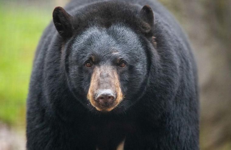 Un oso negro.