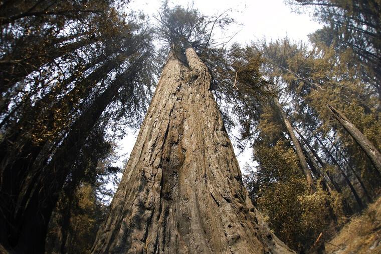 Un viejo árbol de secoya.