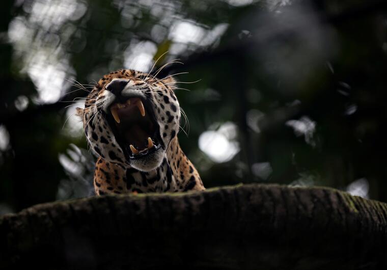 En el caso de Bolivia, los expertos calculan que hay entre 2,000 y 3,000 jaguares en libertad.