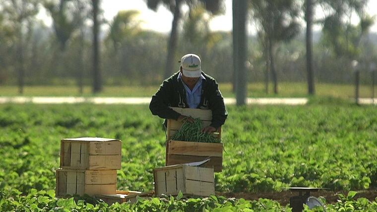 Un trabajador inmigrante recoge frutos en un sembrado en Homestead, Florida