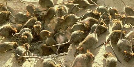 Invasión de ratones en Australia