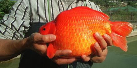 Pez dorado o Goldfish gigante