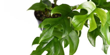 La planta más cara del mundo