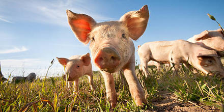 Cerdos amenazan cenotes