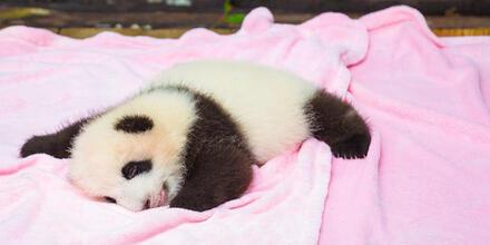 Pandas rosas gigantes