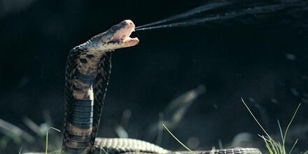 Veneno de serpiente COVID
