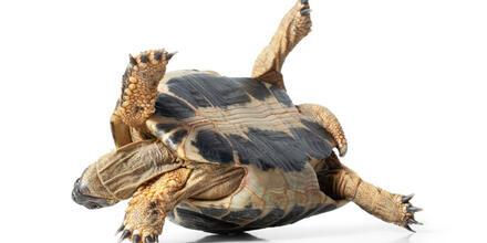 Contrabando de tortugas