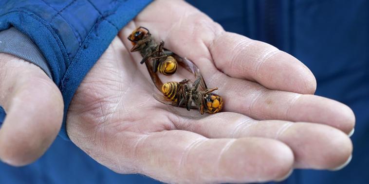 Dos avispones gigantes asiáticos en Blaine, Washington.