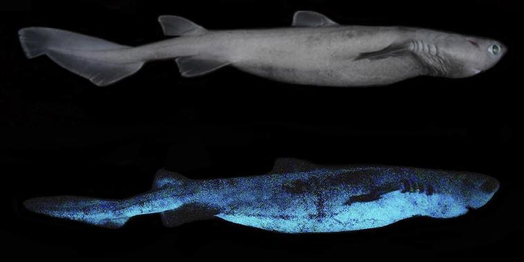 El tiburón cometa es el vertebrado luminoso más grande conocido