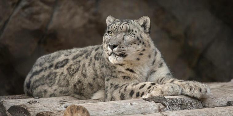 Leopardo de las nieves Ramil