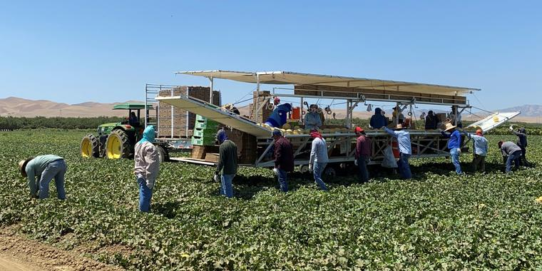 Trabajadores agrícolas de Del Bosque Farm recogían melones este viernes 9 de julio en Firebaugh, California, donde se espera que las temperaturas superen los 110 grados el fin de semana.
