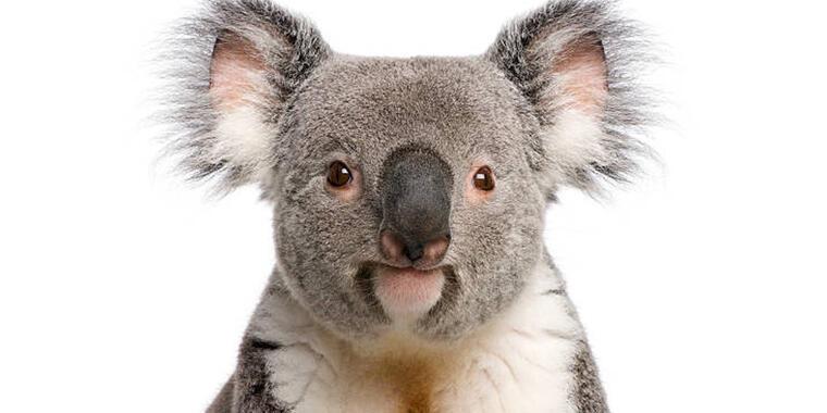 Koalas cáncer y sida
