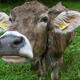 Desechos de vaca