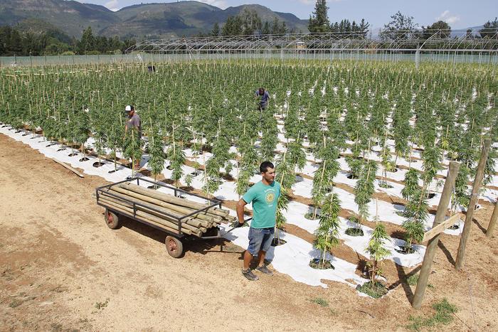 LA MAYOR PLANTACION LEGAL DE CANNABIS DE CANNABIS DE AMERICA LATINA CRECE EN CHILE