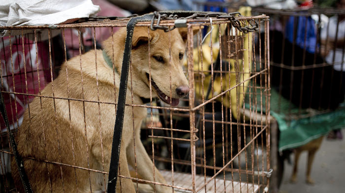 Celebran un festival donde comen carne de perro