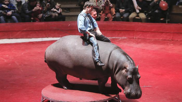 Denuncian presentación de hipopótamos amaestrados en circo ruso