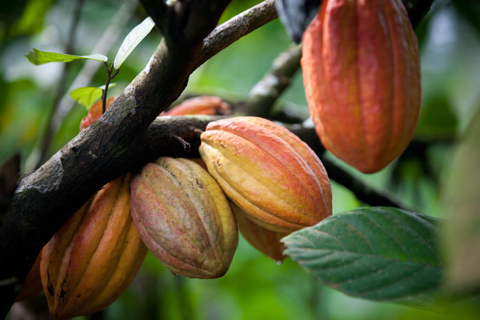 Multiple pods on cacao tree