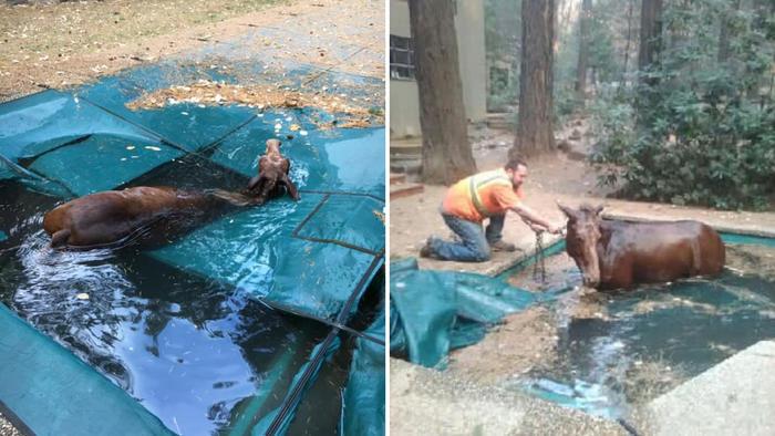 Yegua rescatada en Paradise (California)