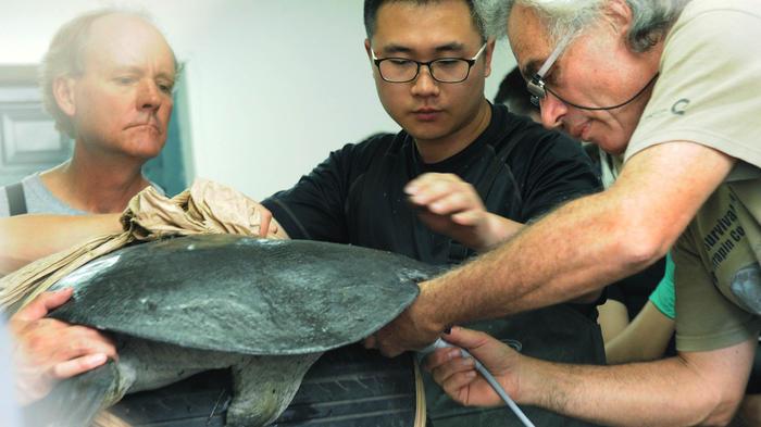 tortuga yangtze en peligro de extinción