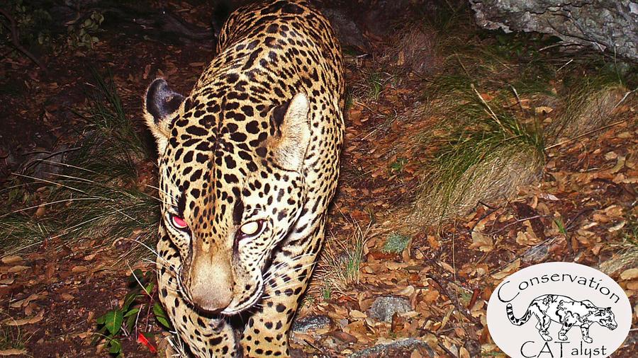 Jaguar, El Jefe