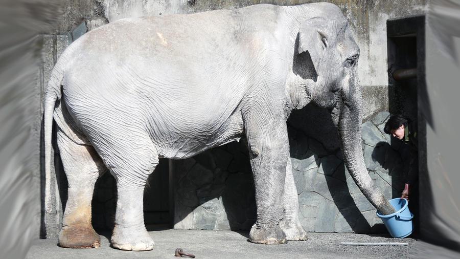 Elefanta Hanako