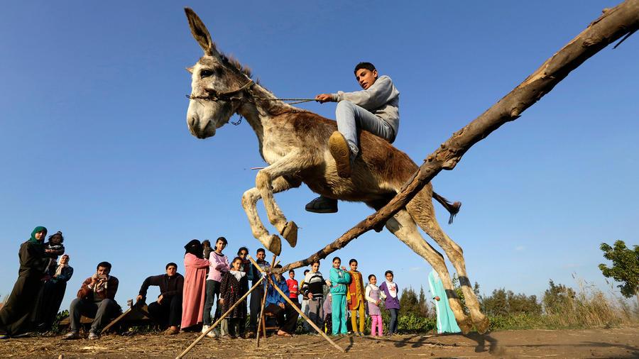 burra saltarina en egipto