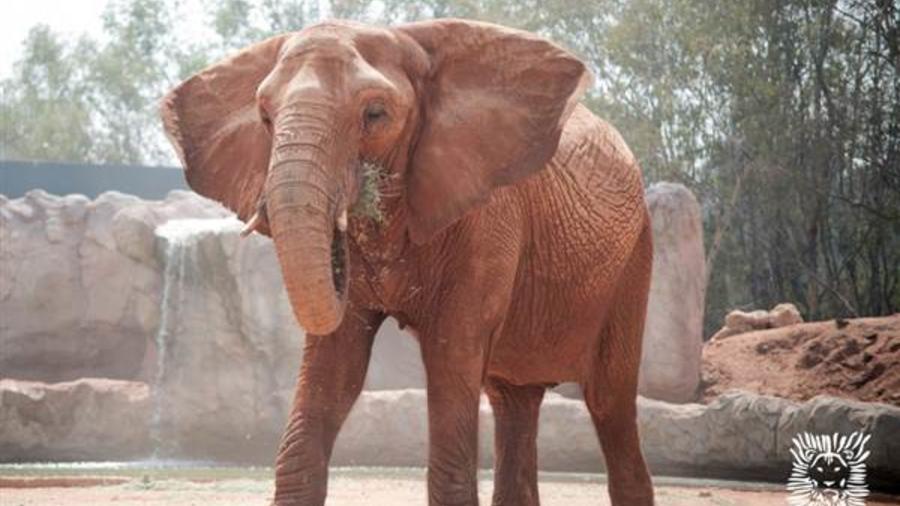 Un elefante en el zoológico de Rabat, Marruecos.