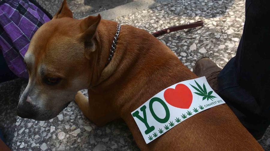 Las mascotas y el consumo de marihuana