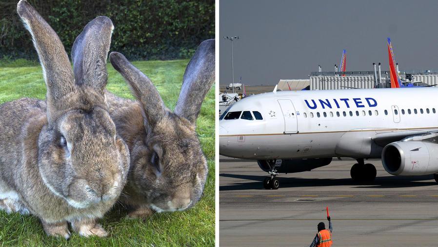 Muere un conejo gigante en vuelo de United.