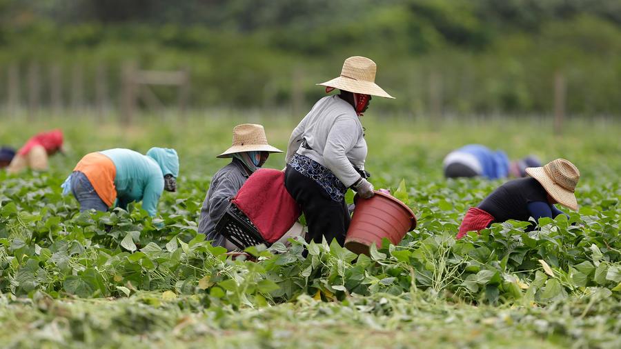 Inmigrantes hispanos trabajan en el campo en Florida