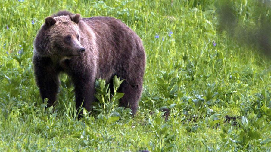 Un oso pardo en Yellowstone en julio de 2011.