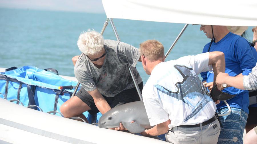 Científicos de VaquitaCPR recuperan un ejemplar en el Alto Golfo de California.