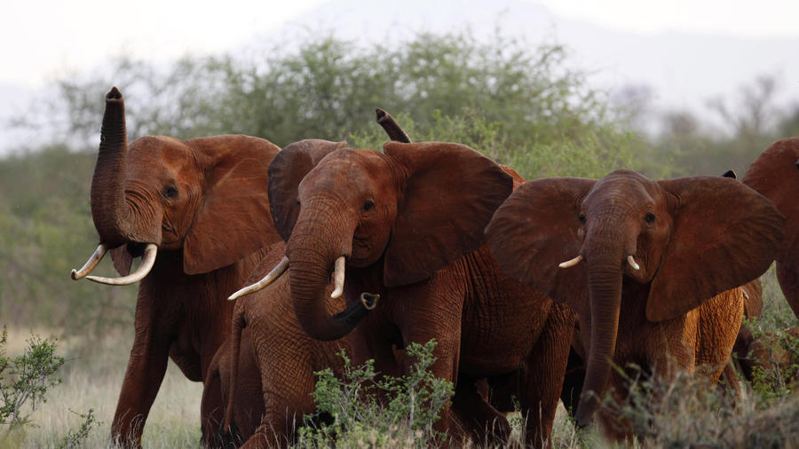 Esta foto de archivo tomada el martes 9 de marzo del 2010 muestra elefantes en el parque nacional Tsavo East, en Kenia. (AP Foto/Karel Prinsloo, Archivo)