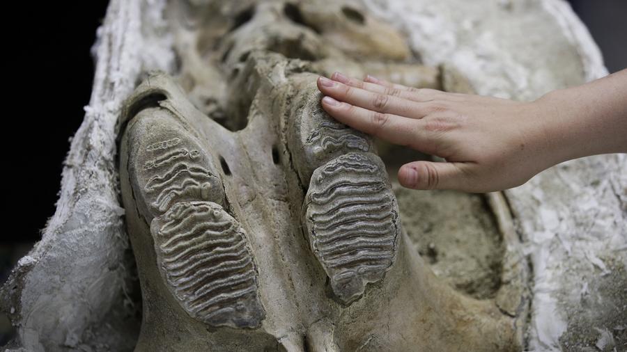 la paleontóloga Ashley Leger muestra una calavera de un joven mamut colombiano encontrado en el sitio de construcción de la extensión Metro Purple Line en Los Ángeles.