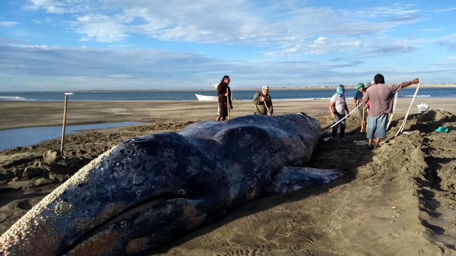 Intentan ayudar a una ballena gris varada en el estado de Baja California Sur, México