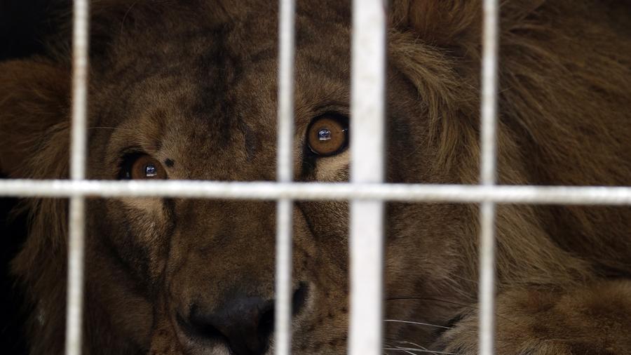 Imagen de un león dentro de una jaula en un zoológico.