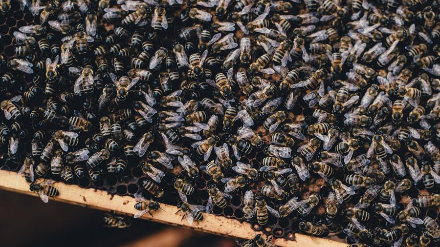 abeja africana
