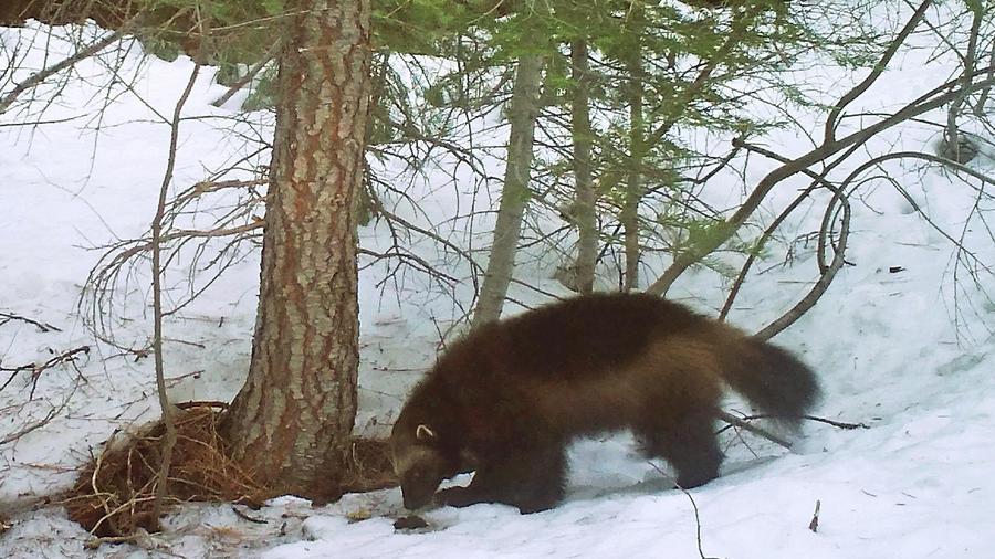 Esta foto muestra a un glotón en el Bosque Nacional Tahoe cerca de Truckee, California.